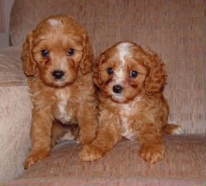 Poodles, Puppys and Doodle dog on Pinterest