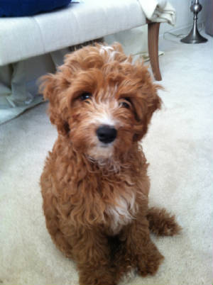 Pictures Of Sold Cavapoo S