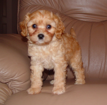 Cavapoo Puppies on Cavapoo Puppies   Reviews And Photos